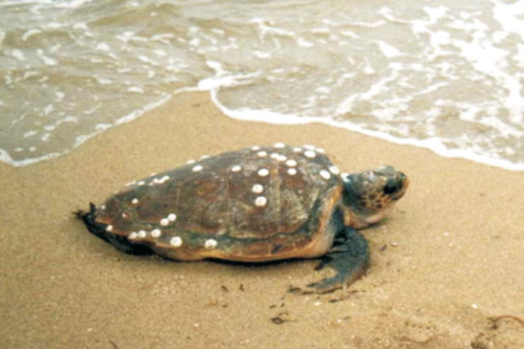 North Cyprus Caretta Caretta